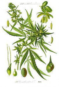 1-Illustration_Cannabis_sativa0_clean